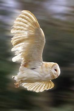 Barn-owl-in-Flight_art.jpg