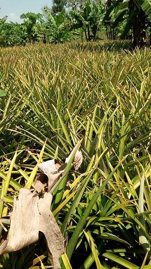 Ananas-åker høsten 2020.jpg