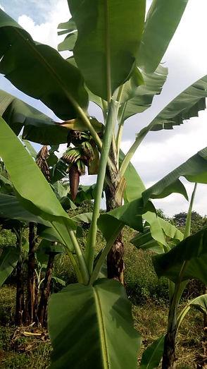 Bananer på Immis aaker - sept. 20.jpg