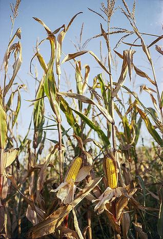 corn-2819773_1280.jpg