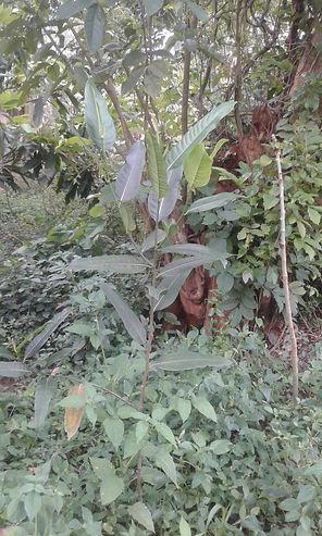 Avocado-tre i Unganda.jpg