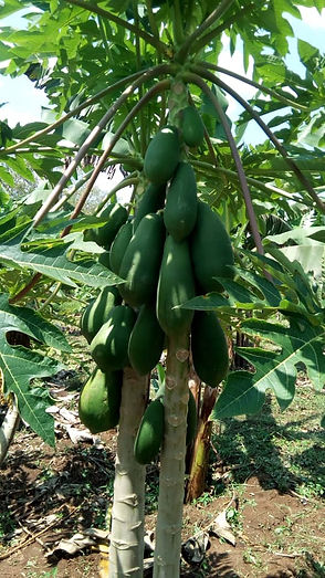 Pawpaw-frukt_-_en_slags_papaya_-_immis_a