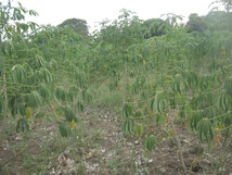 Cassava tåler mere tørke