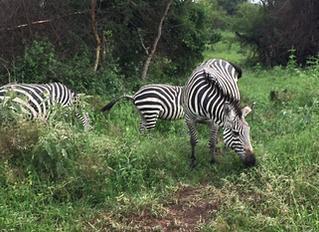 På safari i Afrika!