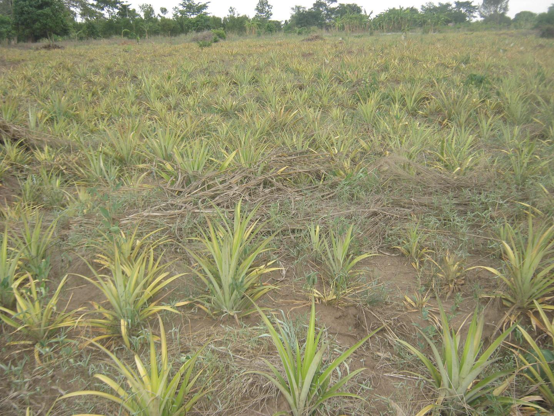 Ananasplanter