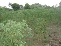 Cassava-rot