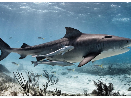 Shark Shockers:  'The Garbage Cans of the Sea'