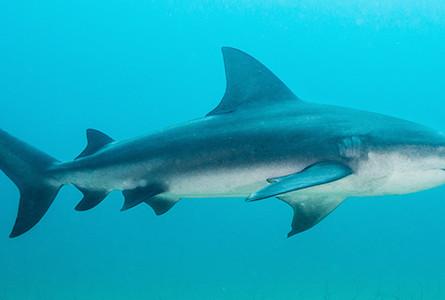 Shark Shockers: Bull Sharks