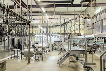 Slaughterhouse poultry factory. Poultry