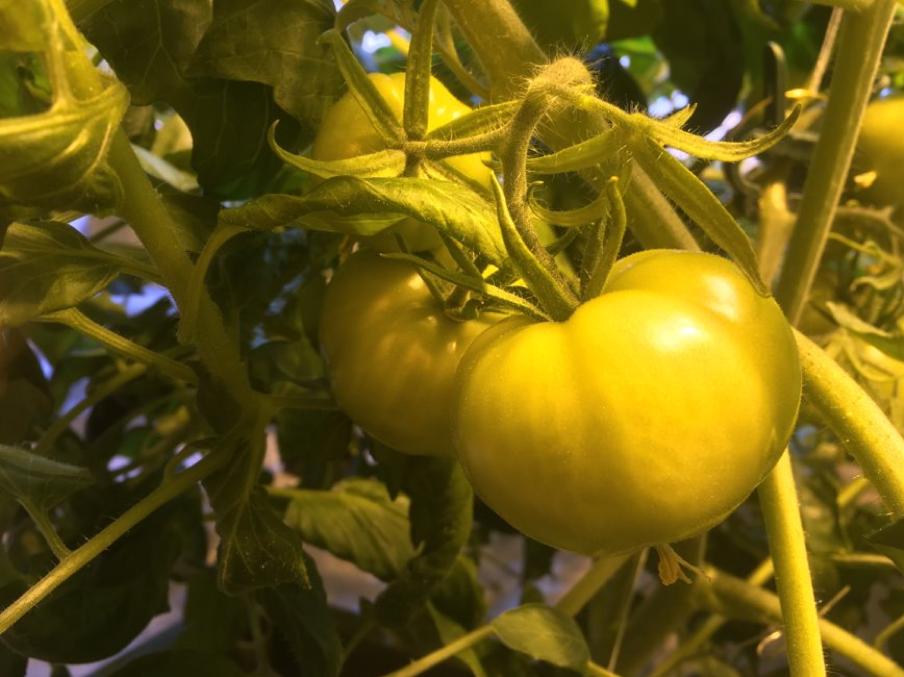 hydroponie tomates