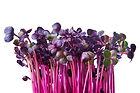 Fresh purple radish sprouts isolated on white. Microgreens..jpg
