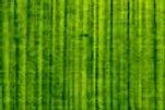 AS Artists' Oil Colours Australian Green Gold