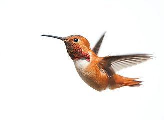 hummingbird.jfif