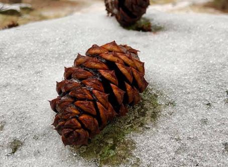 Celebrating the Season with Pine