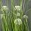 Thumbnail: A Pot of White Allium