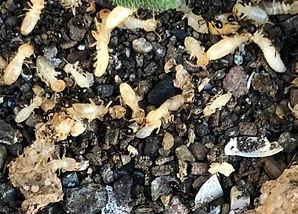 シロアリを捕食する黒アリ