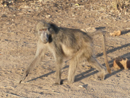 Sept. 10 – Fleeing the baboons