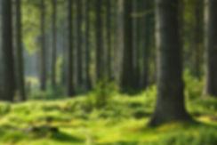 Sunlit Spruce Tree Forest .jpg