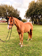 gelding, horses for sale houston, richmond texas