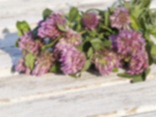 red-clover-1589448_1920.jpg