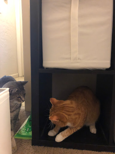 Gray and reddish orange cat are playing. Each staring at each other. Reddish orange cat is inside shelf.