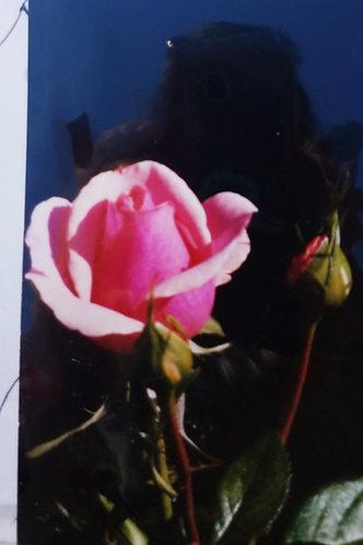 Pink Rose & Bud Painting KIt