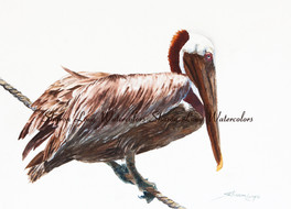 """Tightrope Walker"" my original watercolor painting of a Pelican has SOLD!!!"