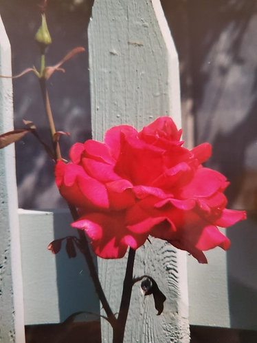 Red Rose with White Picket Fence Up Close