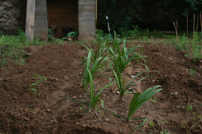 seedlings in soil