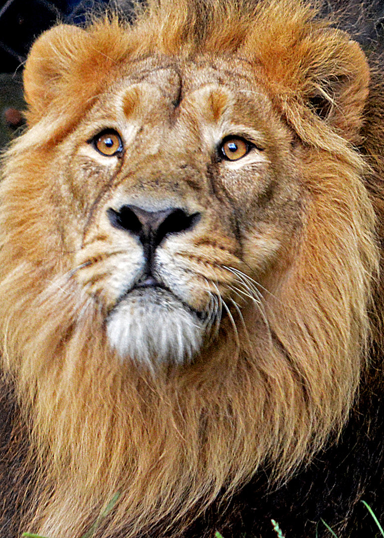 Asiatic lion portrait