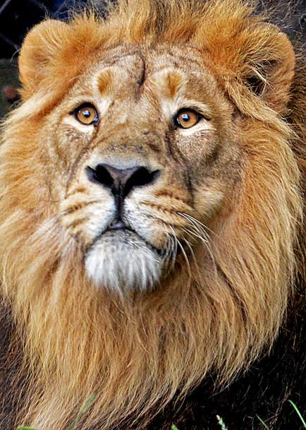 Asiatic lion portrait