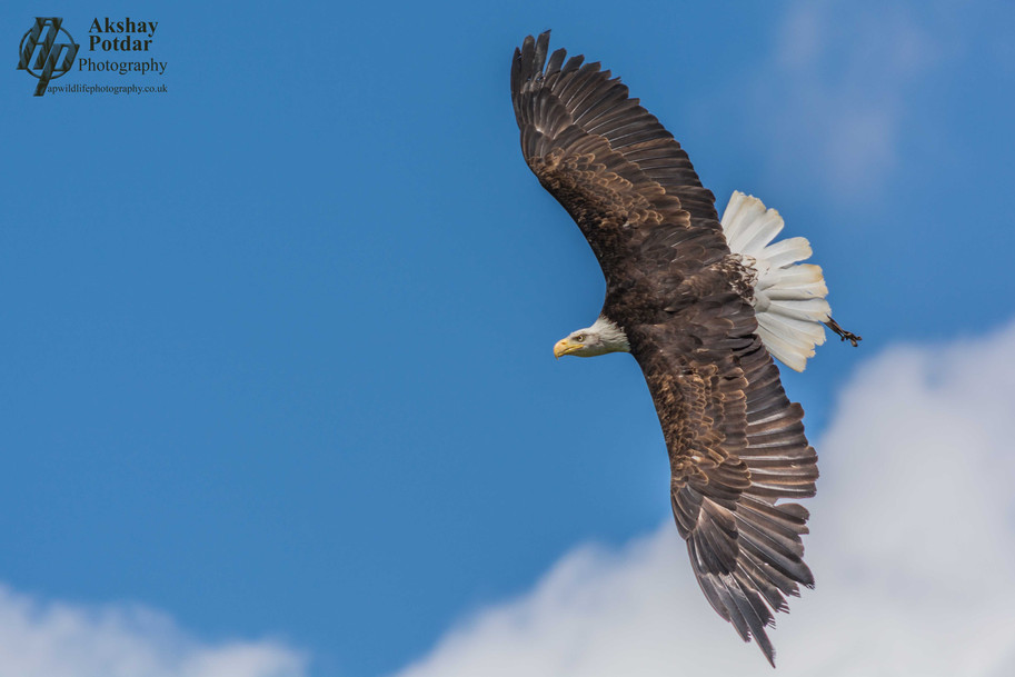 Bald eagle riding the thermal