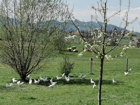 So leben also Bio-Hühner!