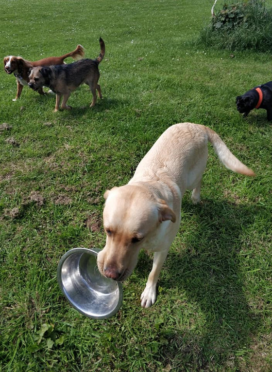 Wall-E the friendly Labrador looking for his lunch @ Star Walkies Dog Daycare, Dunbar!