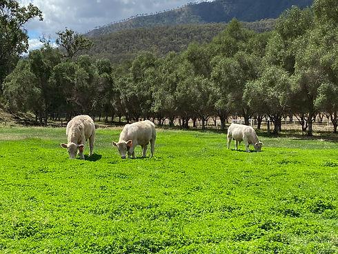 Black Duck Charolais Farm in the Lockyer Valley