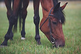 horse-eating-grass-ANXSY7D.jpg