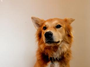 Ronan, Studio Dog