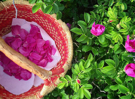 Gather Ye Rosebuds While Ye May: The Season of Rosa Rugosa