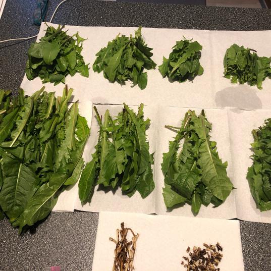 Dandelion Greens & Roots