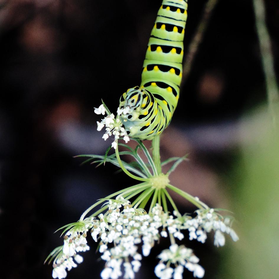 swallowtail cat 2.jpg