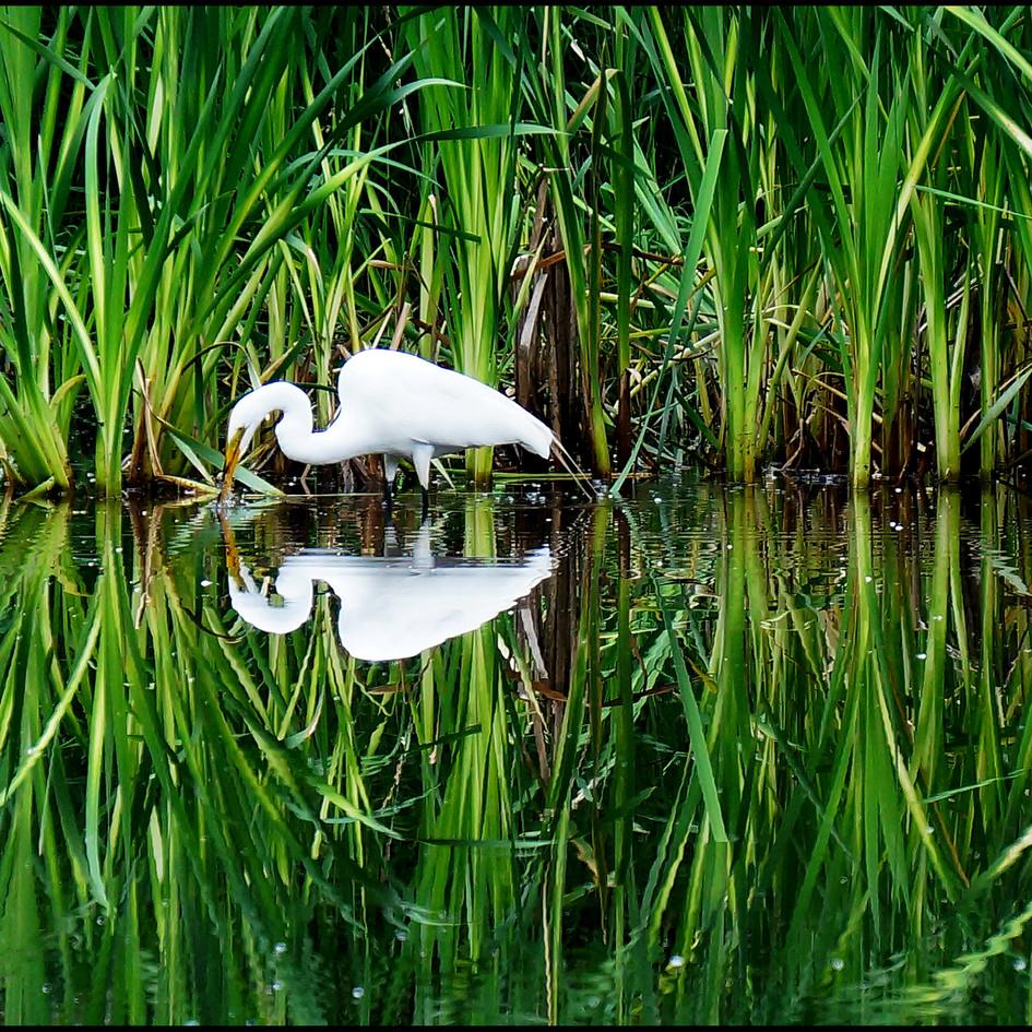 egret in cattails 1.jpg