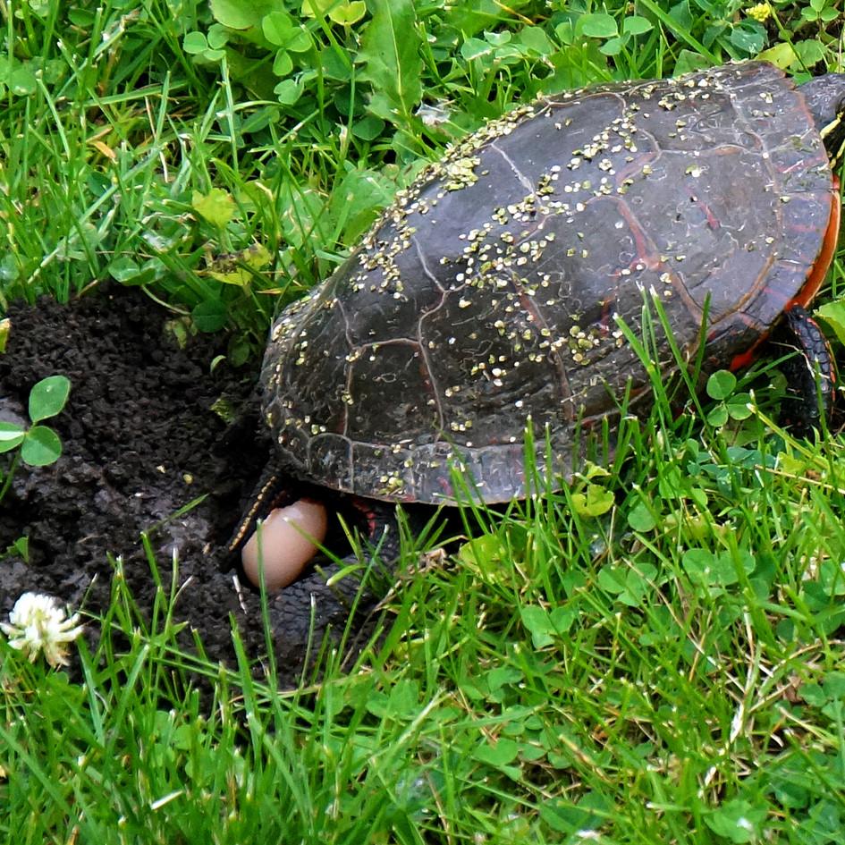 turtle laying eggs.jpg