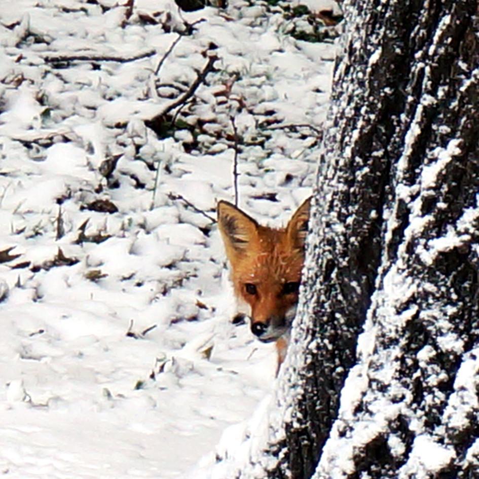 fox first snow 5.jpg