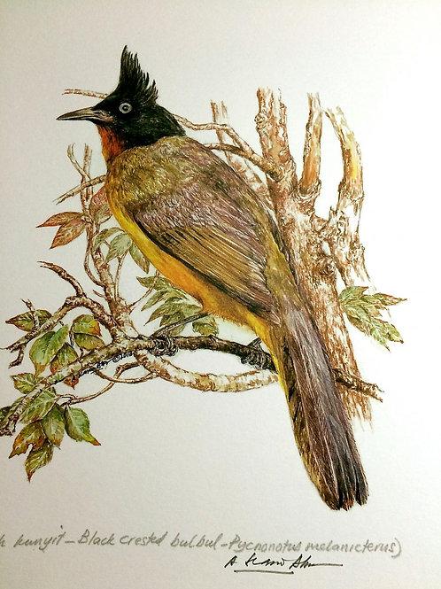 Birds of Malaysia: 5. Pycnonotus Flaviventris / Black Crested Bulbul/ Merbah Jam