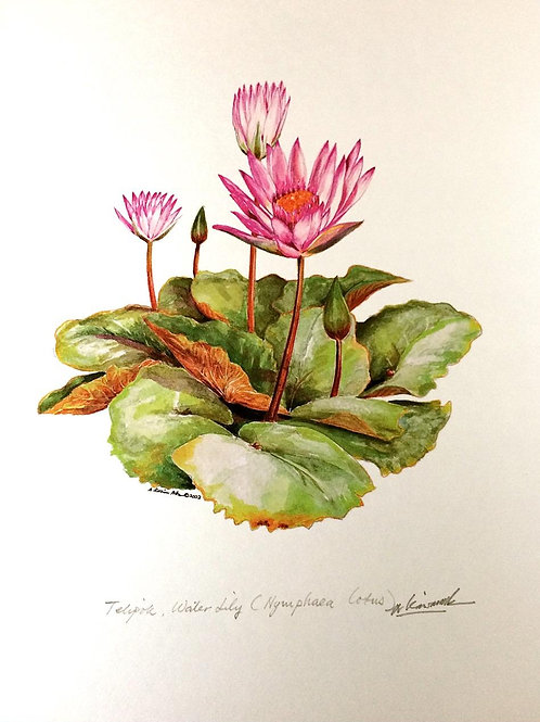 Red Flowers of Malaysia: 8.Nymphaeceae Lotus, Water Liliy Flower