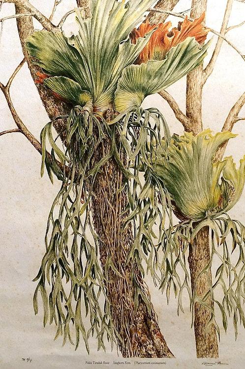 Exotic Fern: 1. Platicerium Bifurcatum, Stag Horn Fern