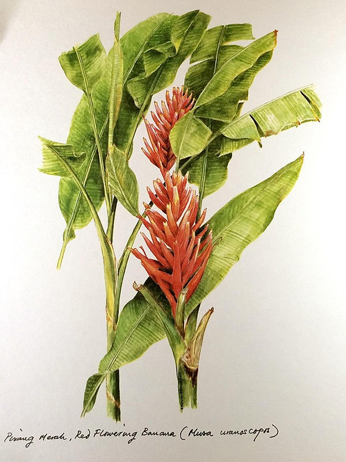 Red Flowers of Malaysia: 2.Red Banana Flower