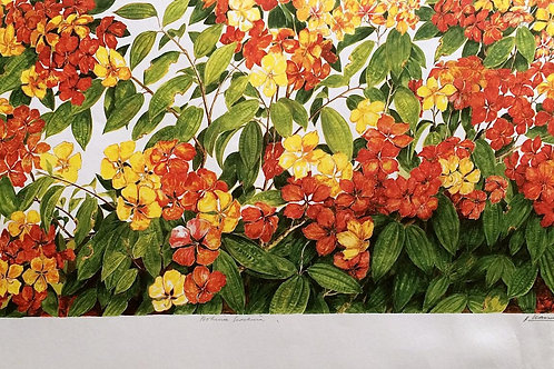 Full Flower Series : 1.Bauhinia Kockiana