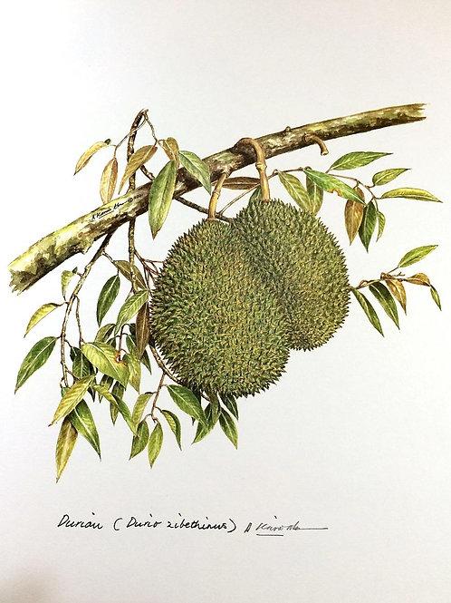 Malaysian Fruits: 2.Durio Zibethinus, Durian Fruit