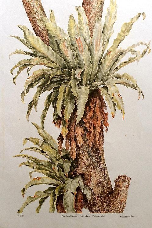 Exotic Fern: 2.Asplenium Nidus , Bird Nest Fern